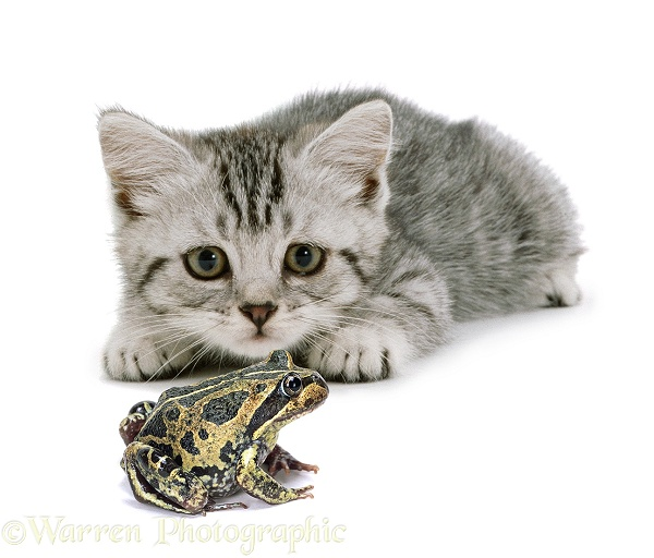 Silver spotted tabby kitten, 8 weeks old, about to pounce a banjo frog, white background