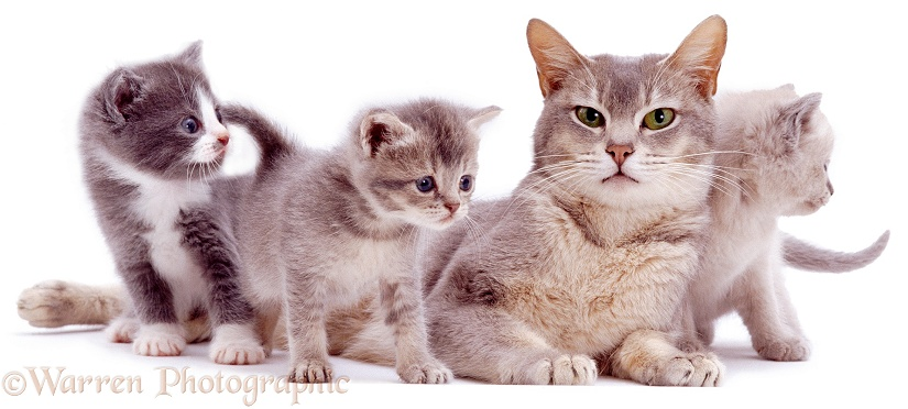A mother cat, Bella, and her kittens, white background