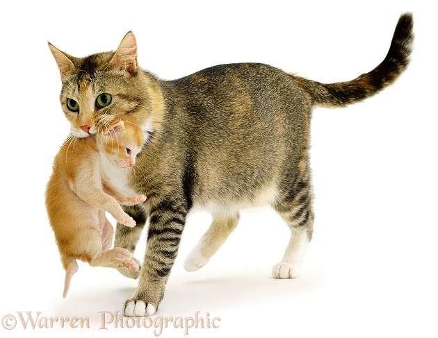Mother cat, Pansy, carrying a red kitten, white background