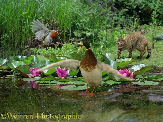 Cat stalking a robin and duck who are too busy arguing to notice