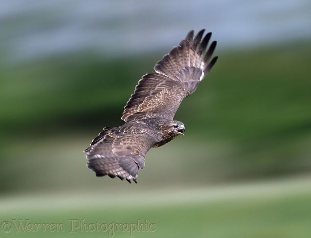 Eurasian Buzzard (Buteo buteo) calling in flight