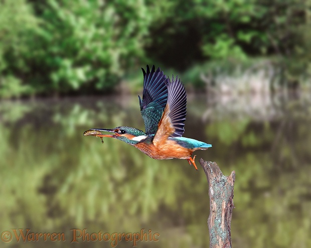Kingfisher (Alcedo atthis) taking off with three-spined stickleback