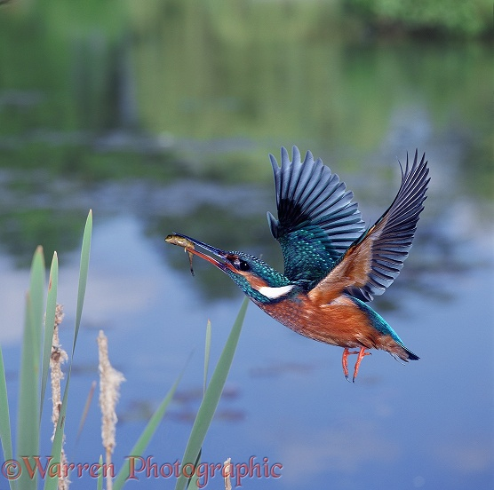 Kingfisher (Alcedo atthis) female flying up with Ten-spined Stickleback in its beak