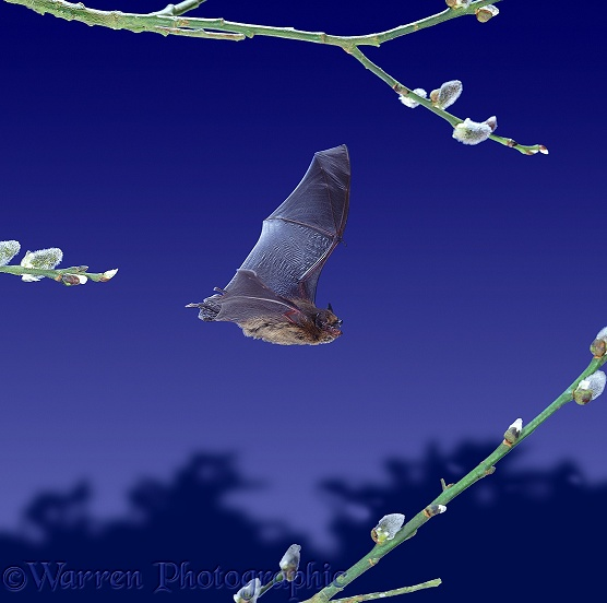 Pipistrelle Bat (Pipistrellus pipistrellus) flying among willow catkins.  Europe