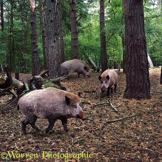 European Wild Boar (Sus scrofa) in pine forest
