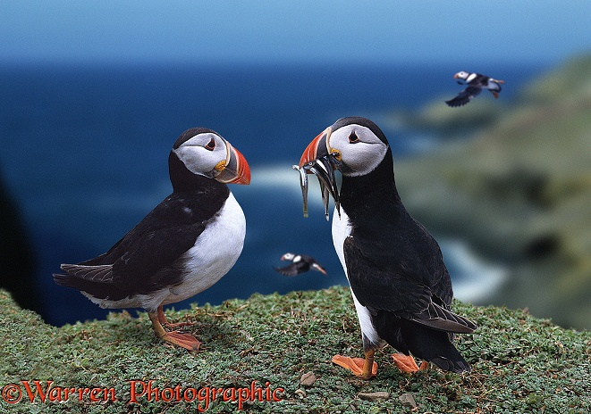 Puffins (Fratercula arctica), one carrying sandeels