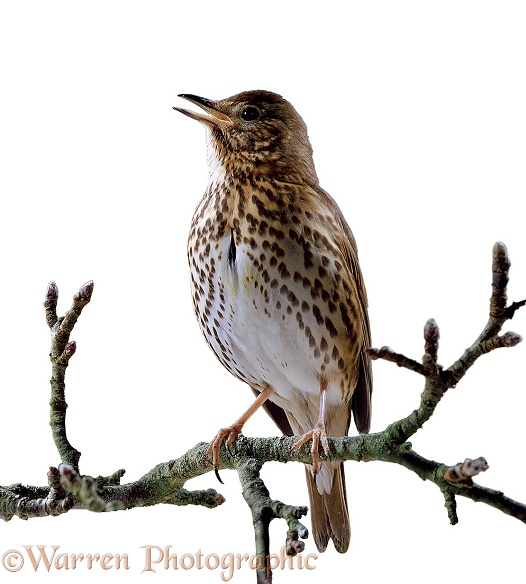 Song Thrush (Turdus philomelos) singing in early spring, white background