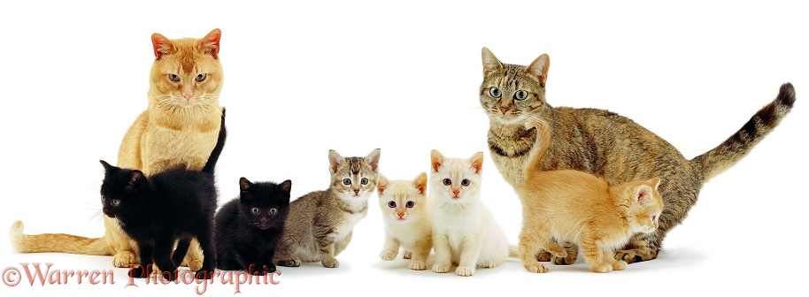 Red Burmese father cat Ozzie and mother cat with their colourful family, white background