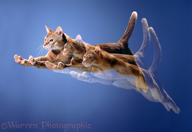 Multiple image of a Sorrel Abyssinian cat in mid leap