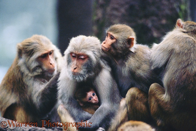 A family of Rhesus Macaques (Macaca mulatta) groom each other.  India & Southeast Asia