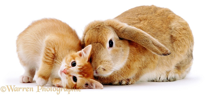 Ginger female kitten Sabrina scent-rubbing against a young sandy lop rabbit, white background
