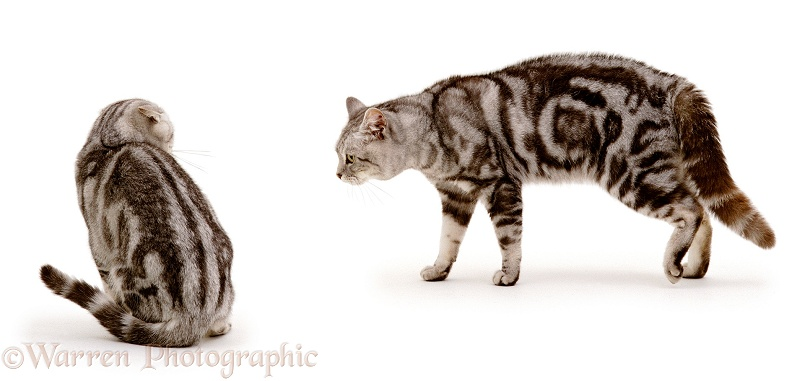 Aggressive male silver tabby cat, Peregrine, menacing his 6-month-old son, Butterfly, white background