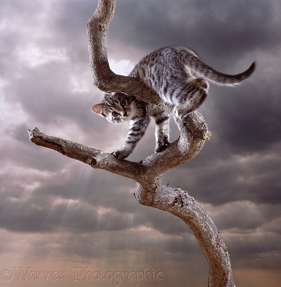 Brown Spotted Bengal cat on a bare branch
