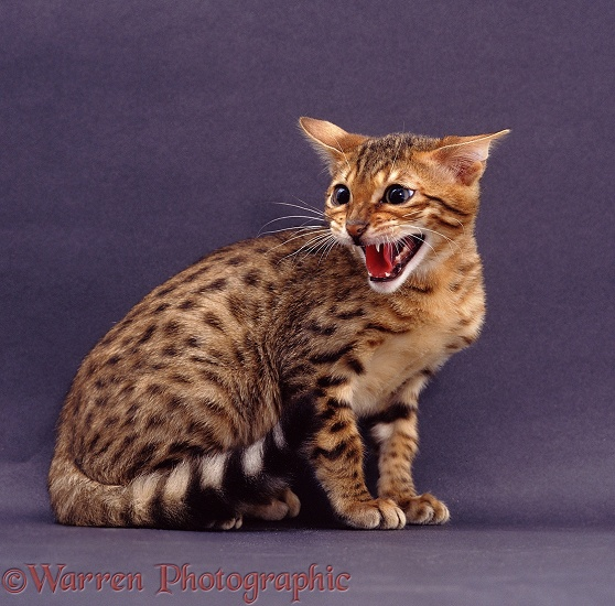 Bengal cat snarling
