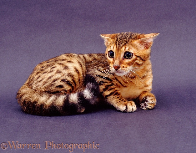 Very timid Brown Spotted Bengal cat, ears back