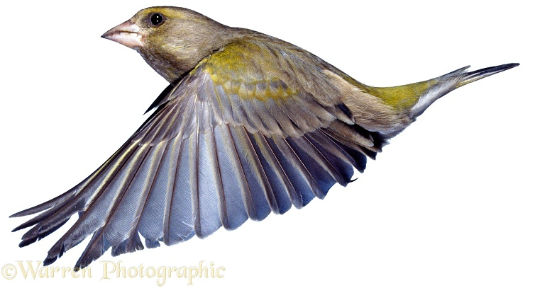 Greenfinch (Carduelis chloris) female, soon after take-off.  Europe, white background