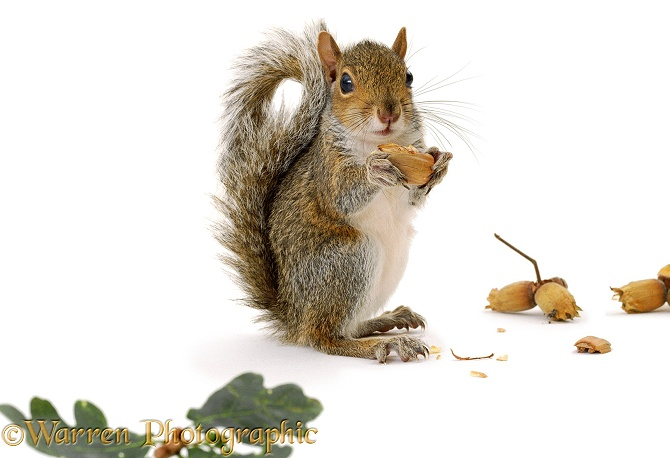 Young Grey Squirrel (Sciurus carolinensis), 8 weeks old, eating a hazel nut, white background