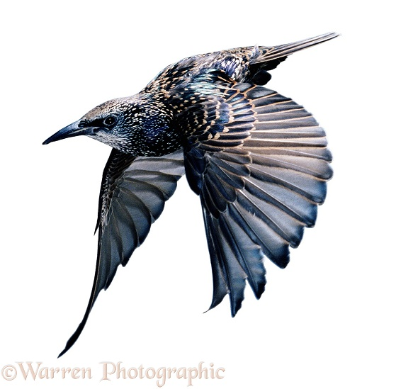 Starling (Sturnus vulgaris) in flight, white background
