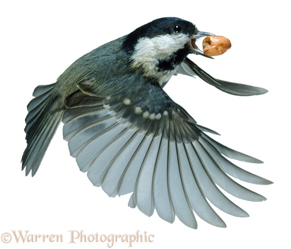 Coal Tit (Parus ater) flying off with a peanut, white background