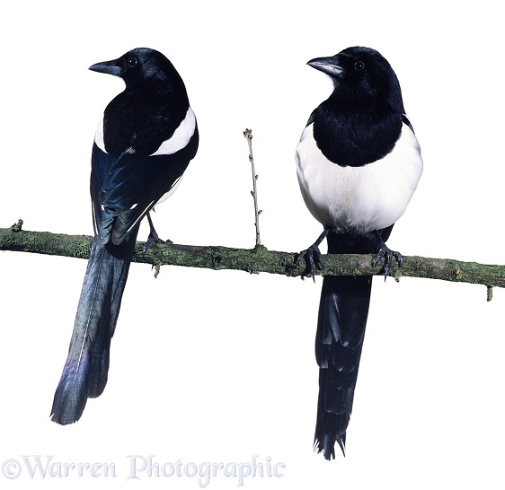 A pair of Magpies on a branch