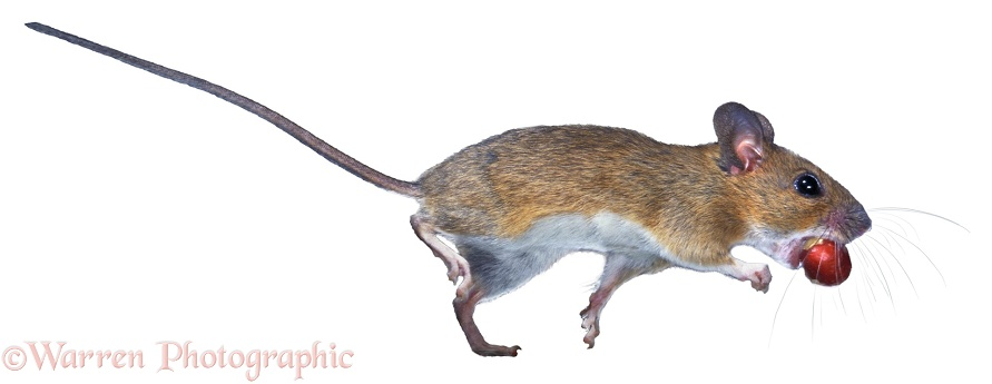 Yellow-necked Mouse (Apodemus flavicollis) escaping with a berry, white background