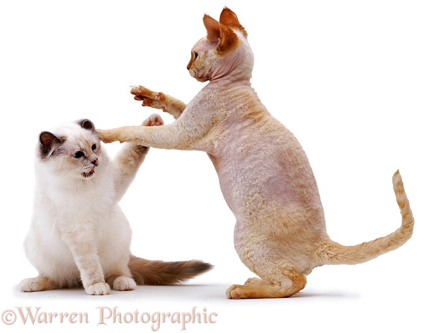 Red-point Devon Si-Rex, Archie, 10 months old, Playing with Blue Tortie Tabby-point Birman kitten, Phoebe, 4 months old, white background
