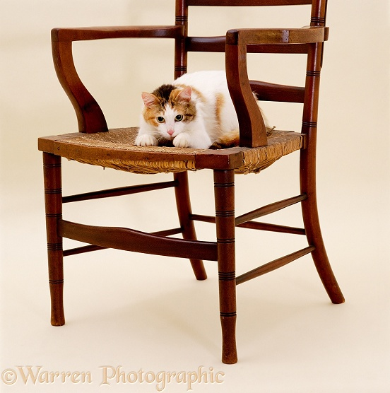 Tortoiseshell-and-white cat, Alexandria, kneading a chair seat and scratching it up