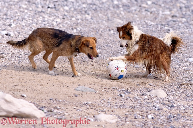 Lakeland Terrier x Border Collie, Bess, and Border Collie, Lark, playing with a ball on the beach