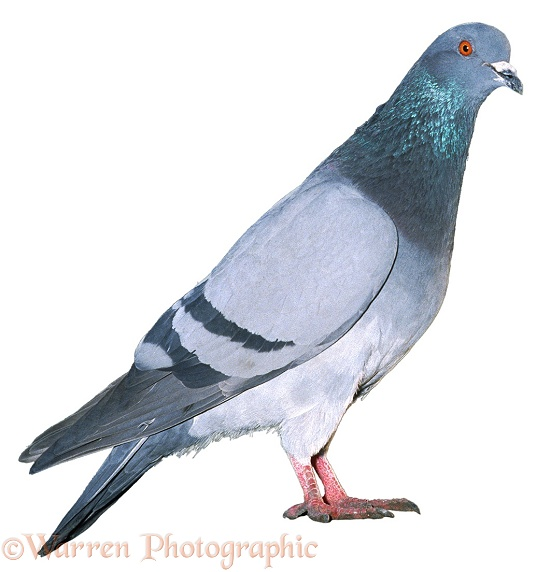 Street Pigeon (Columba livia) blue bar colour variant, white background