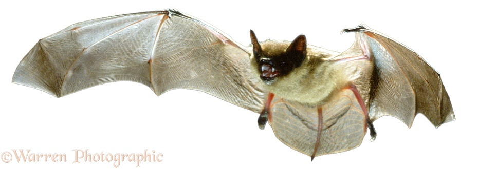 Serotine Bat (Eptesicus serotinus), white background