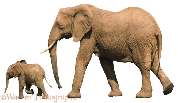 African Elephant (Loxodonta africana) mother and baby, running, white background