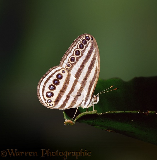 Rainforest Butterfly.  Borneo