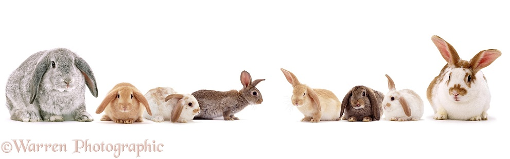 Windmill-ears Rabbit family, white background