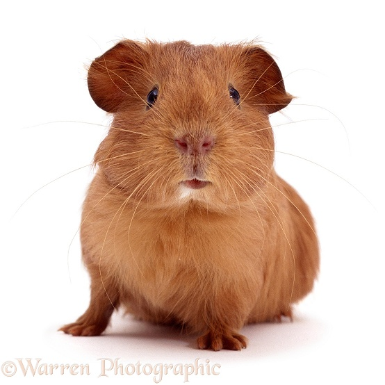 Young red smooth-haired Guinea pig, white background