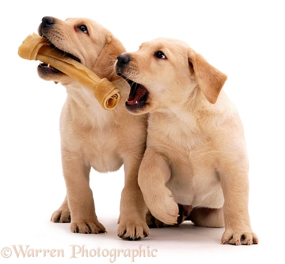 Two Yellow Labrador Retriever pups, 7 weeks old, with rawhide bone chew, white background