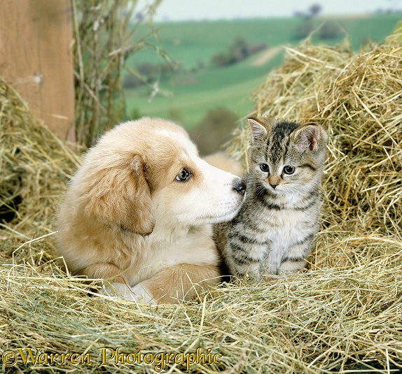 Sable Irish Border Collie bitch puppy with tabby kitten among hay