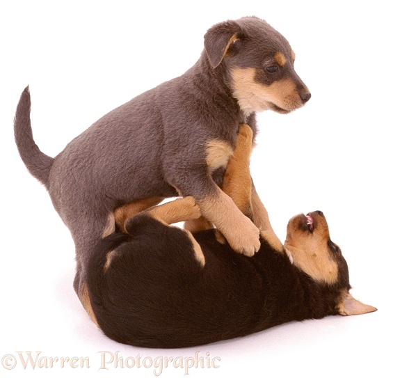 Lakeland Terrier x Border Collie pups, Gyp and Lottie, 6 weeks old, scrapping, white background