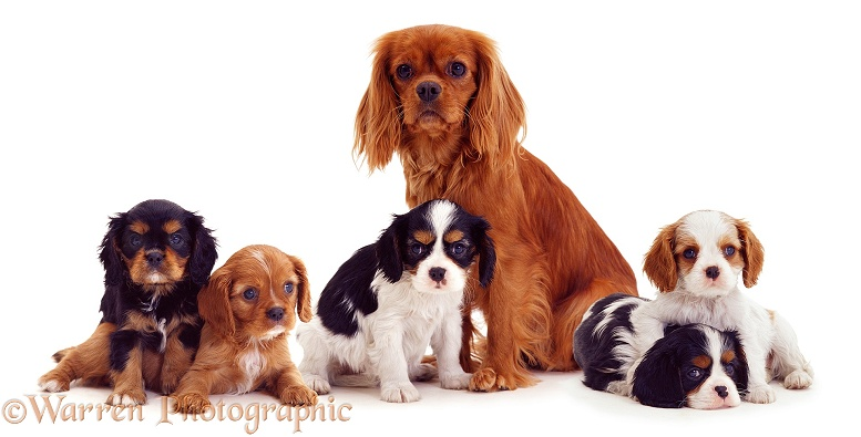 Cavalier King Charles mother and pups, 8 weeks old, white background