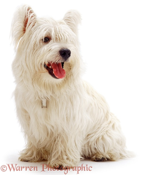 West Highland White Terrier dog, Alec, 10 months old, white background