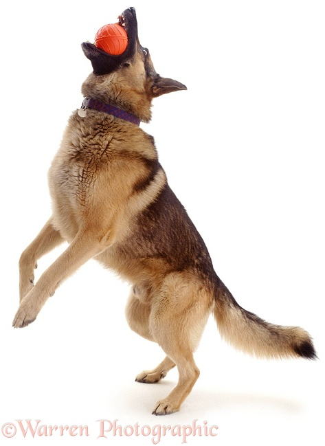 Training German Shepherd Dog, Caesar, catching a ball, white background
