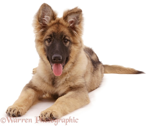 German Shepherd Dog pup, Zena, 18 weeks old