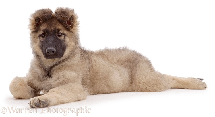 German Shepherd Dog pup, Zena, 12 weeks old, white background