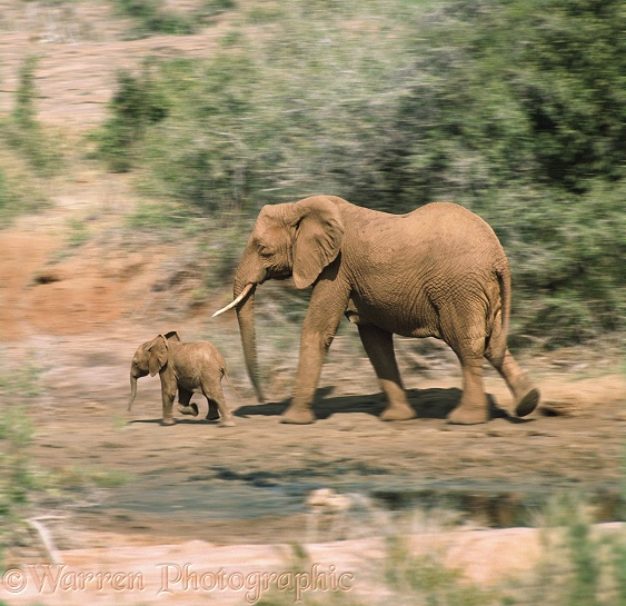 Elephant with baby in motion