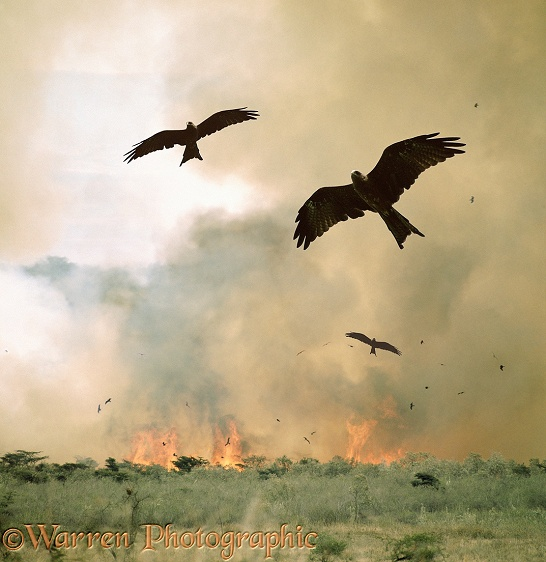 Black Kites (Milvus migrans) hawking insects put up by a bush fire.  Africa