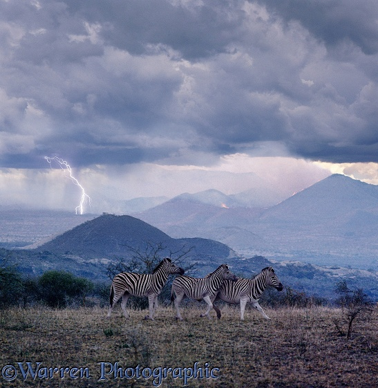 Lightning starts a bush fire and worries some Common Zebras (Equus burchelli).  East Africa