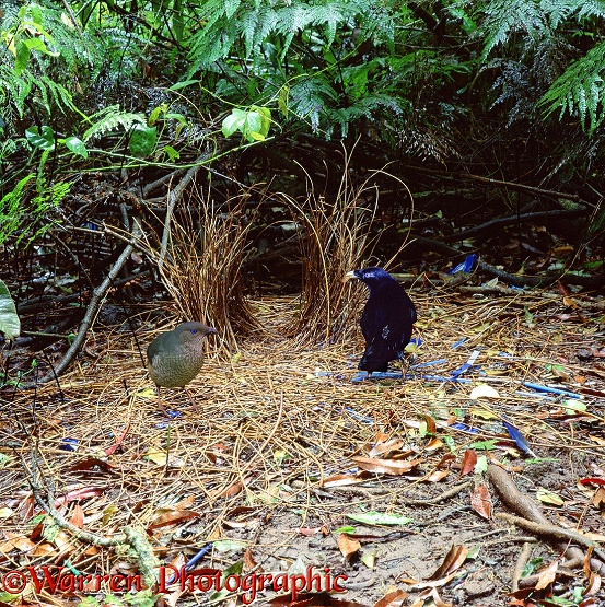A male Satin Bowerbird (Ptilonorhynchus violaceus) displays with a snail shell to a female.  Australia