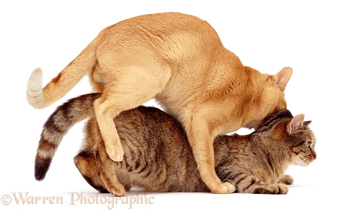 Cats mating photo WP00632