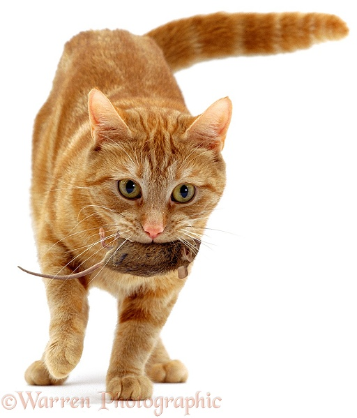 Ginger cat, Lucky, bringing a captured mouse for her kittens, white background