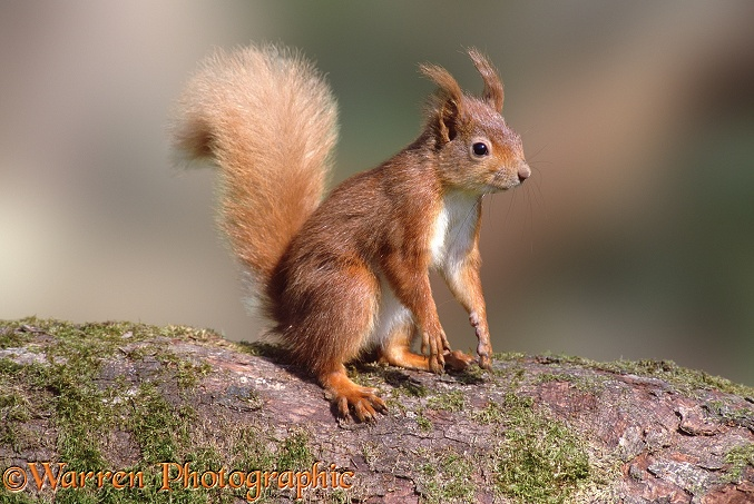 Red Squirrel (Sciurus vulgaris).  Europe