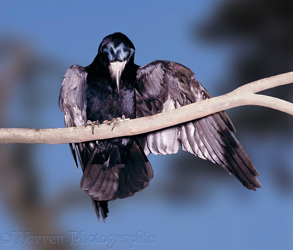 A Tame Rook (Corvus frugilegus) has struck a match and is 'anting' with the flame